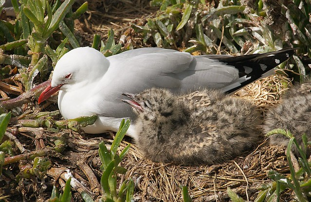 Red Billed Gull And Chick. NZ