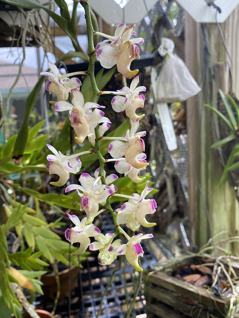 Aerides houlletiana in flower.