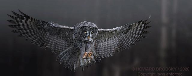 Full open teenage GG... Perfect pose...Great Grey Owl