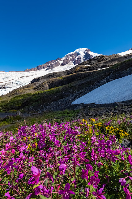 Alpine Fireweed and Mount Baker