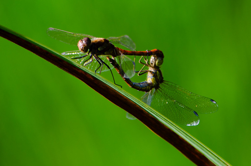 Smestow Valley dragonflies: common darters mating