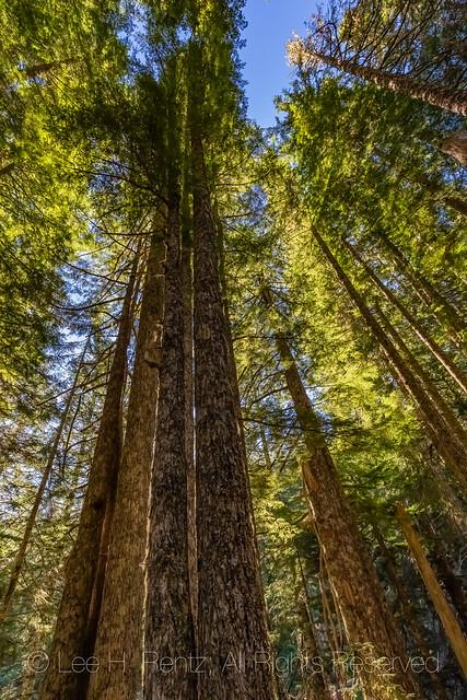 Hemlock Forest on Heliotrope Ridge Trail