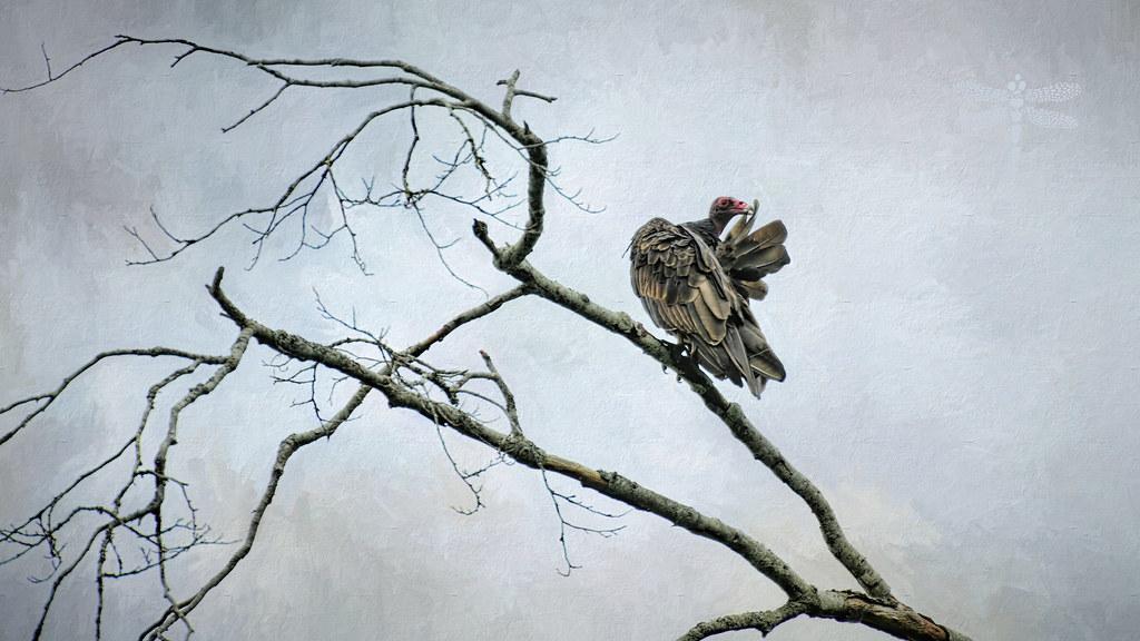 turkey vulture (Cathartes aura) . . .