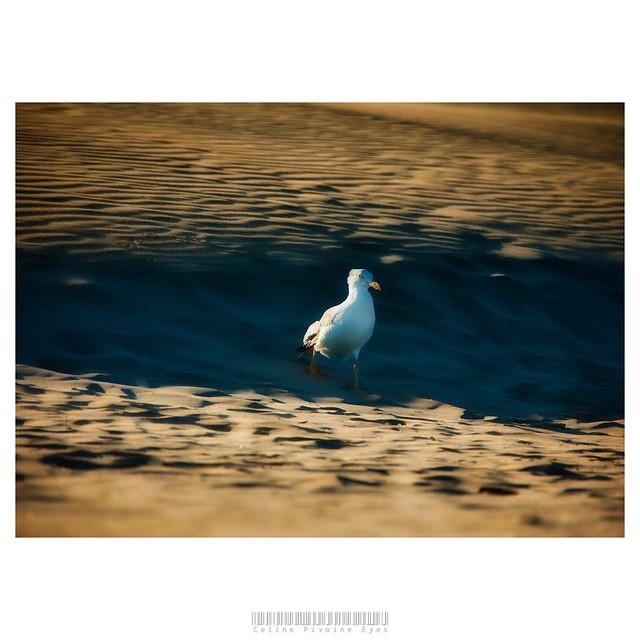 Plume dans le vent  . . . #etudiantip #artmajeur #photographe #photo #creativeentrepreneur #destinationphotographer #photographer #femmephotographe #artistsupportpledge #prodiart #mouette #plage #vent #sable #Gruissan #crépuscule #mer