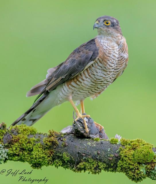 DSC8183  Sparrowhawk..