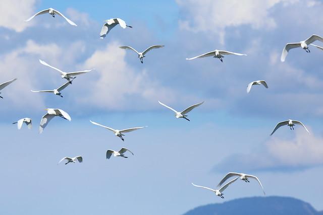 Flock of egrets