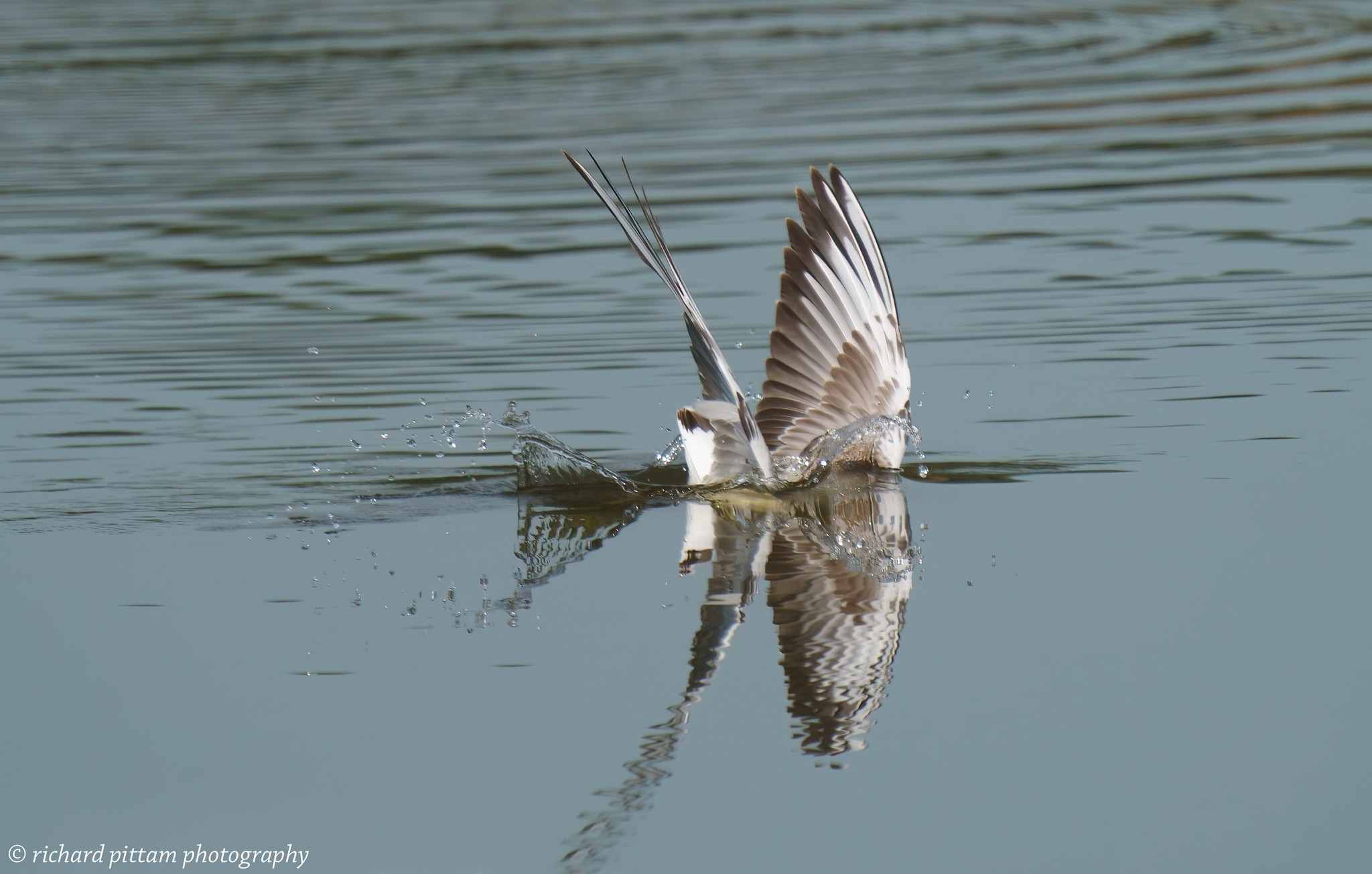 Black-headed Gull - diving...