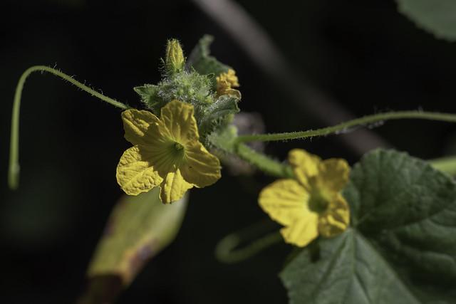 Liane fleurie