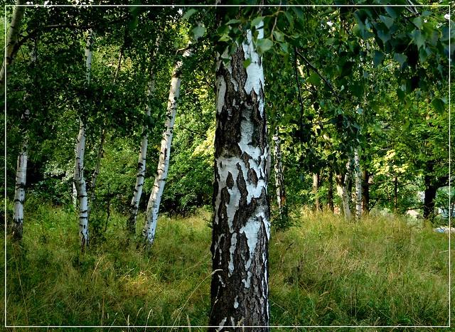 Brzozowy las.