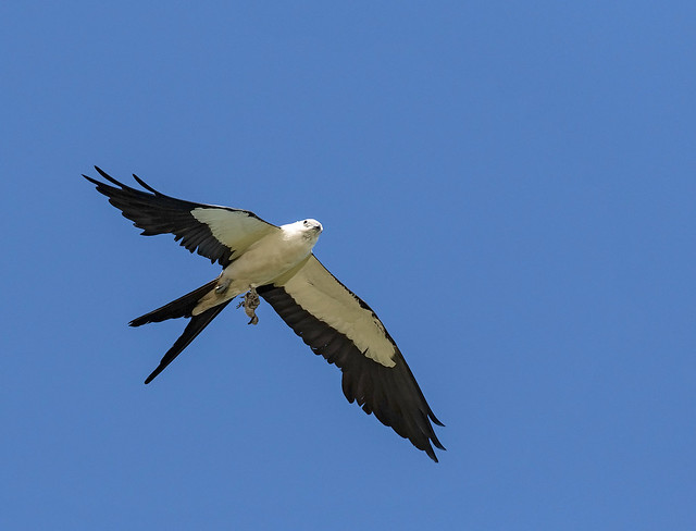 Swallow-tailed Kite With Baby Bird