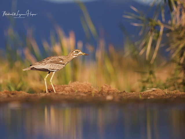 Thick-knee Water