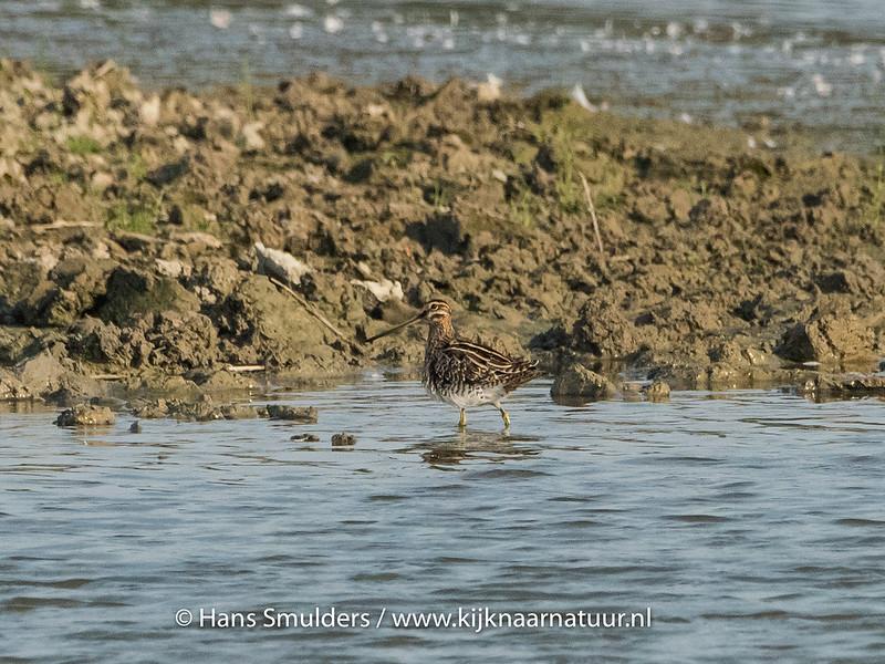 Watersnip (Gallinago gallinago)-820_5296