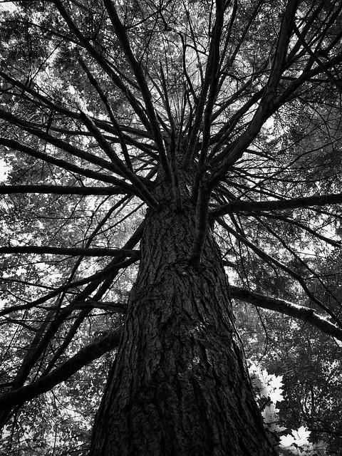 Tall Pine - Explore