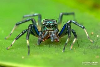 Jumping spider (Phintella vittata) - DSC_6956