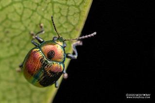 Leaf beetle (Cleorina sp.) - DSC_6880