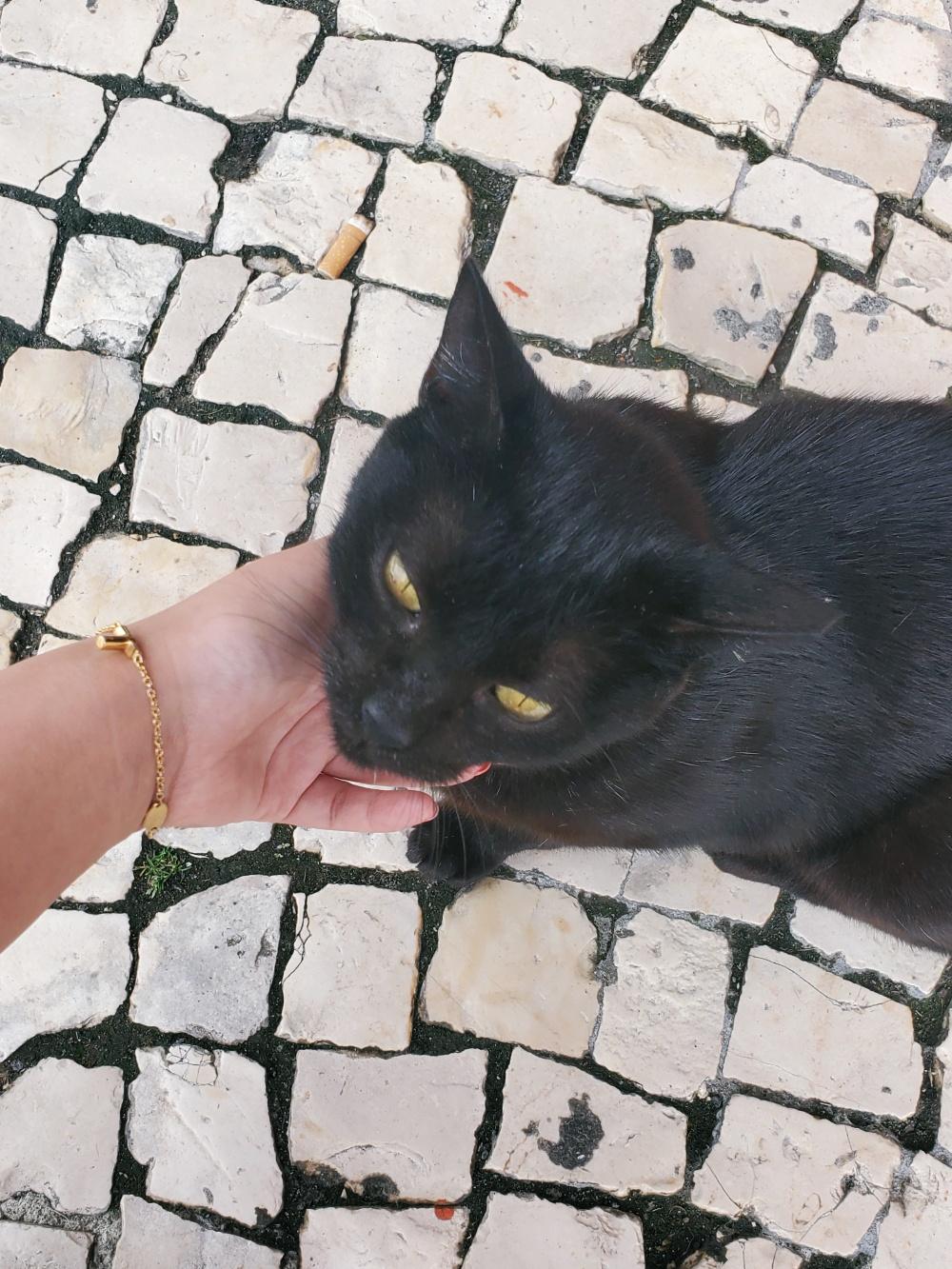 Azores cat
