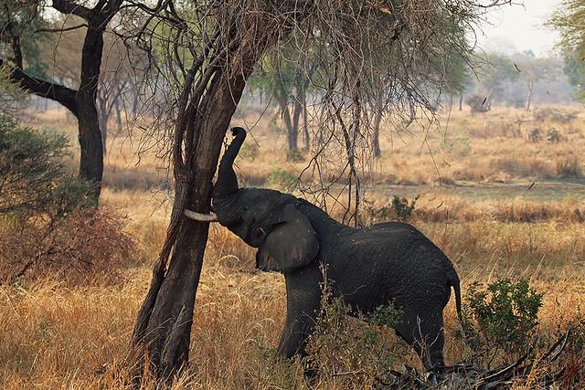 Shaking the tree, savanna elephant, Katavi National Park, Tanzania
