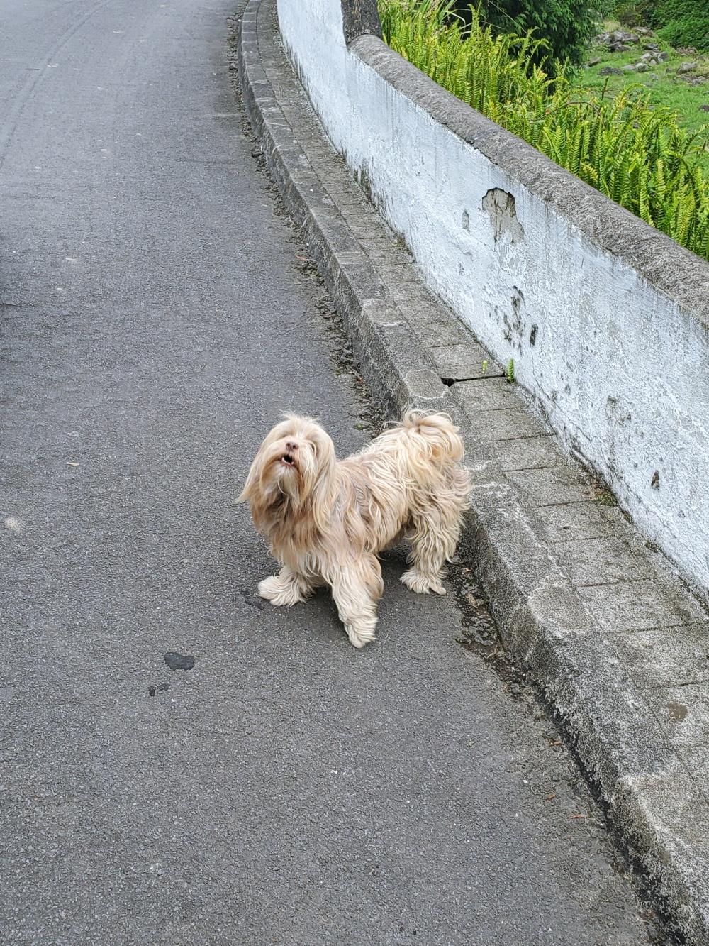 Azores dog
