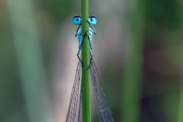Common Damsel in the fading light