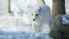 Arctic fox......lens is on 450mm  (由  jeromino2