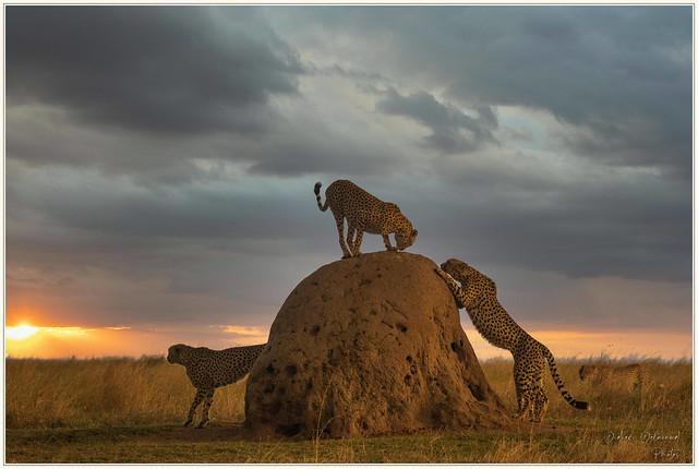 Guépards au coucher de soleil,Masaï Mara