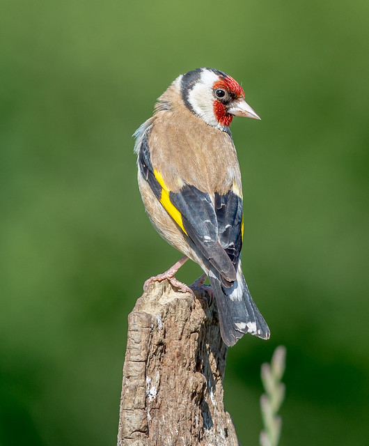 JWL7414  Goldfinch...