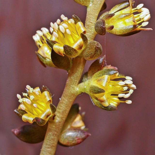 Lenophyllum reflexum 3797-1; Crassulaceae (1)