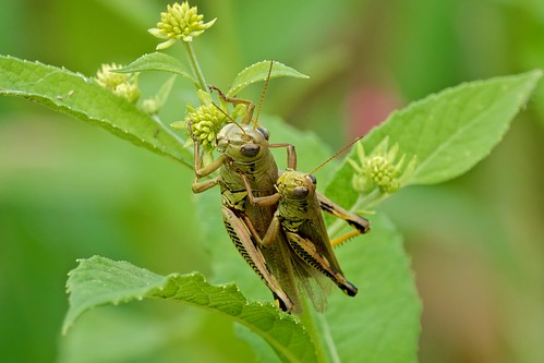 grasshopper insect nature wildlife maryland montgomerycounty mckeebesherswma