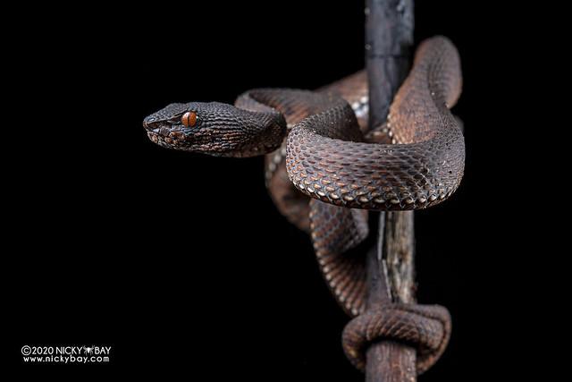 Mangrove pit viper (Trimeresurus purpureomaculatus) - DSC_7192