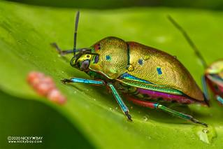 Mangrove stink bug (Calliphara nobilis) - DSC_7082
