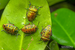 Mangrove stink bug (Calliphara nobilis) - DSC_7064