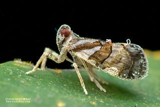 Planthopper (cf. Andes sp.) - DSC_6905