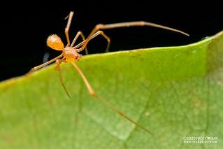 Comb-footed spider (Propostira sp.) - DSC_6773