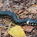 Rantakäärme - Grass snake