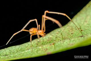 Comb-footed spider (Propostira sp.) - DSC_6781