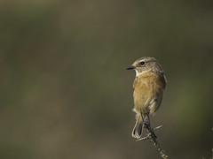 Female Stonechat  (由  Chris Bainbridge1