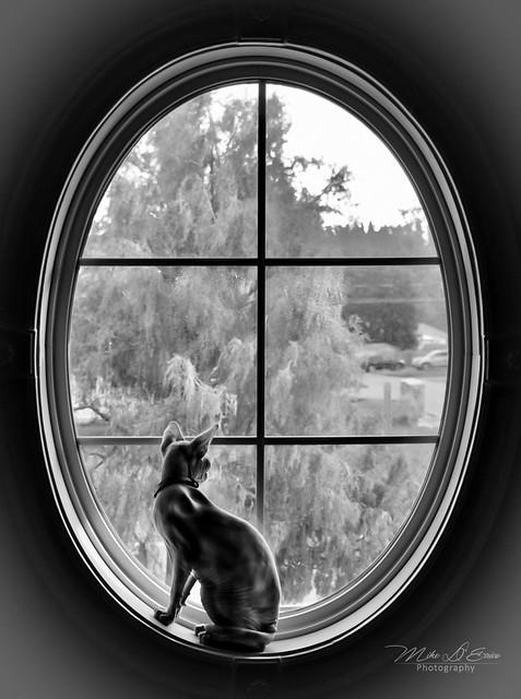 Sphynx Cat In Window