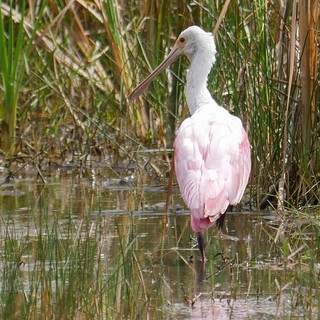 Why is it that people keep associating the flamingo with Florida (despite it being pretty much extinct) - and not the equally pink + uniquely-beaked roseate spoonbill? Where's the love for the Rosalöffler*? Oh, you think the bright red eyes, that only a m | by luciwest