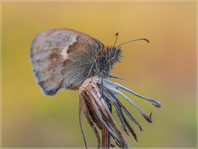 Nymphalidae_96036
