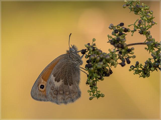 Nymphalidae_95917