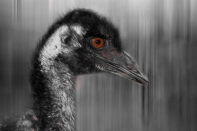 Emu black and white