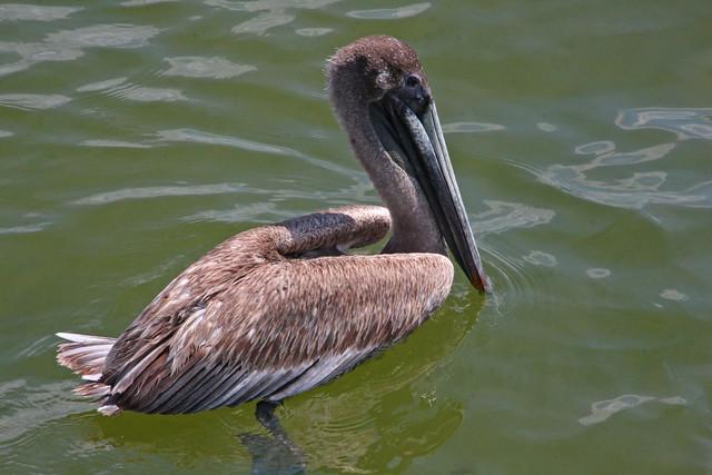 Brown Pelican, John's Pass, Treasure Island, Florida (1 of 8)