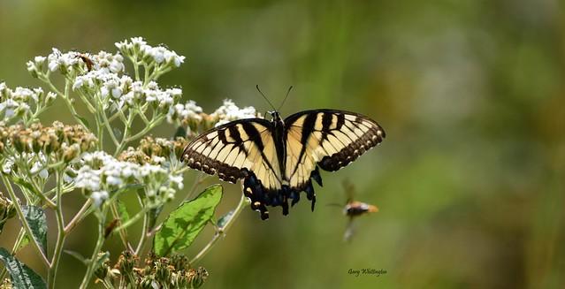 Butterfly_6289ce
