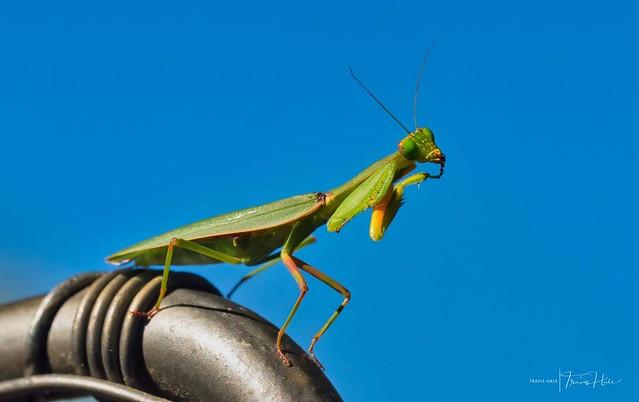 Praying Mantis (Orthodera ministralis)