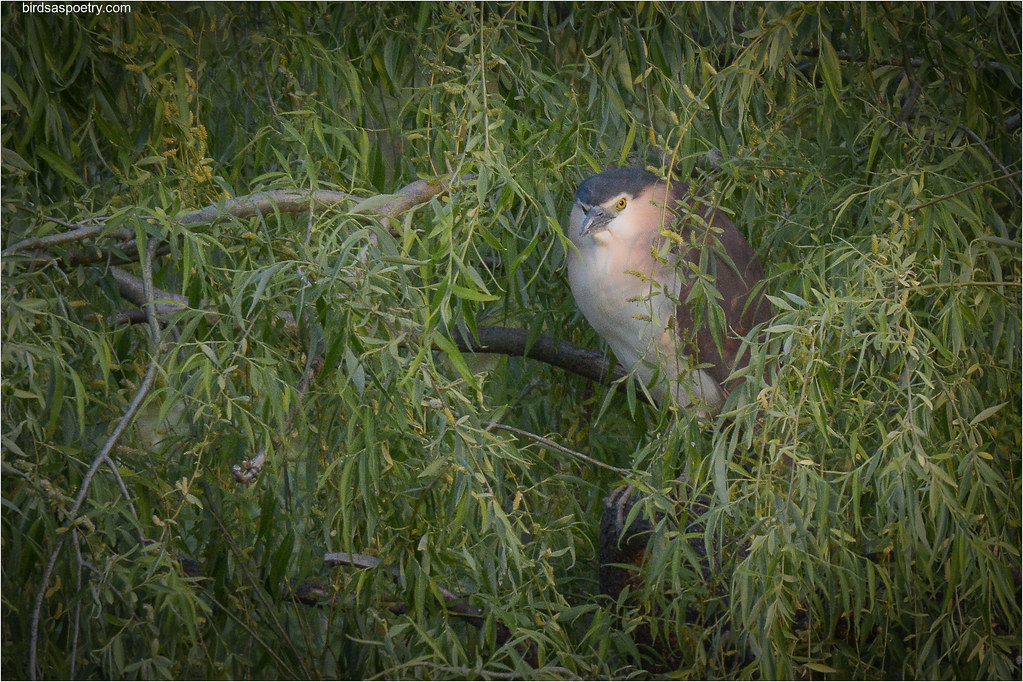 Nankeen Night Heron:Last Rays of Light