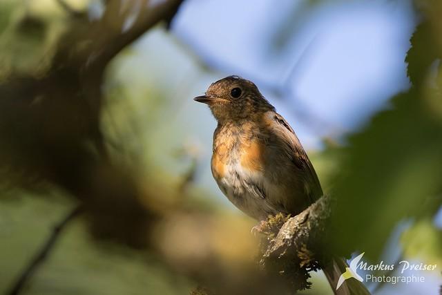 Rotkehlchen // Robin