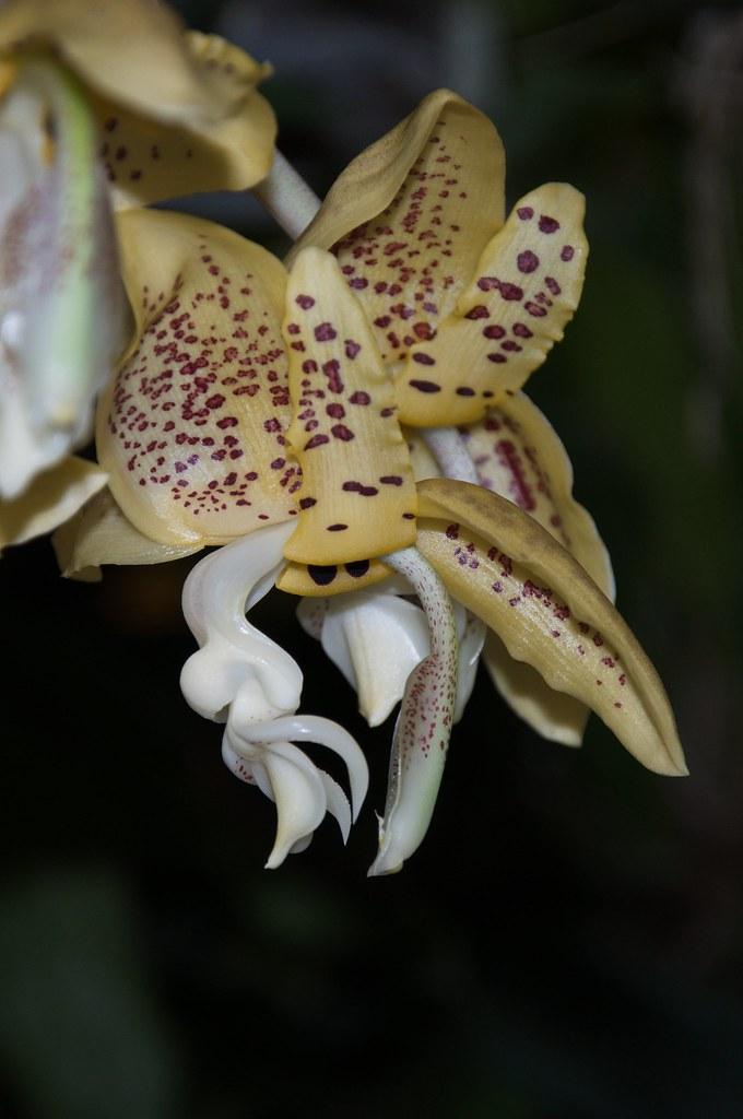 Stanhopea dodsoniana