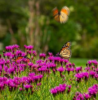 Monarch Butterflies 259 of 365 (Year 7)