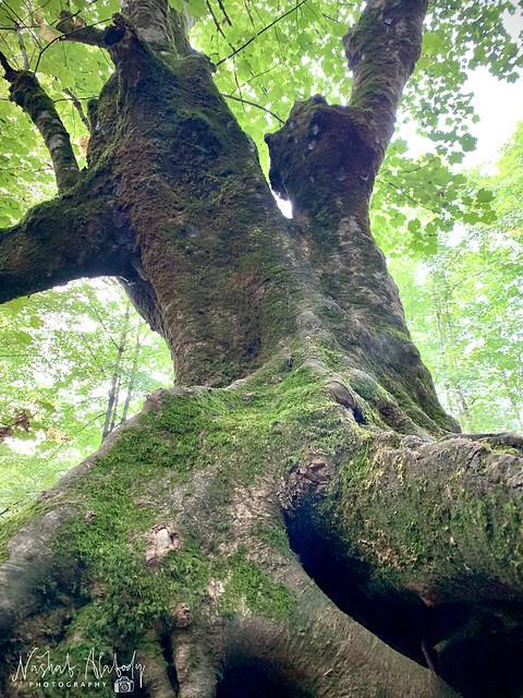 Rudkhan Castle Old Tree