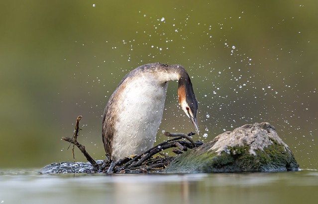 Great Crested Grebe, Attenborough Nature Reserve.